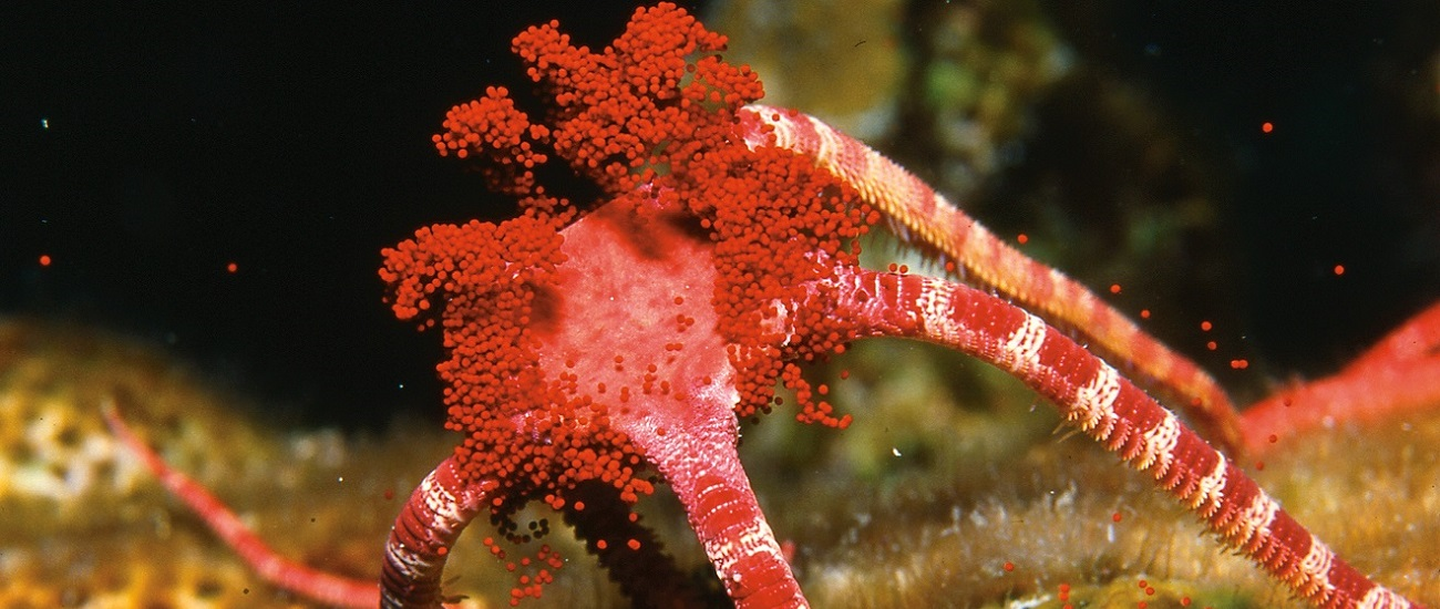 Brittle Star Coral Spawning